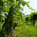 A Vineyard View